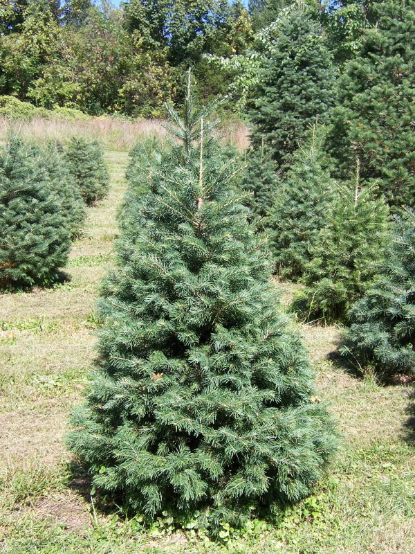 Types Of Trees Available Friendly Fir Tree Farm